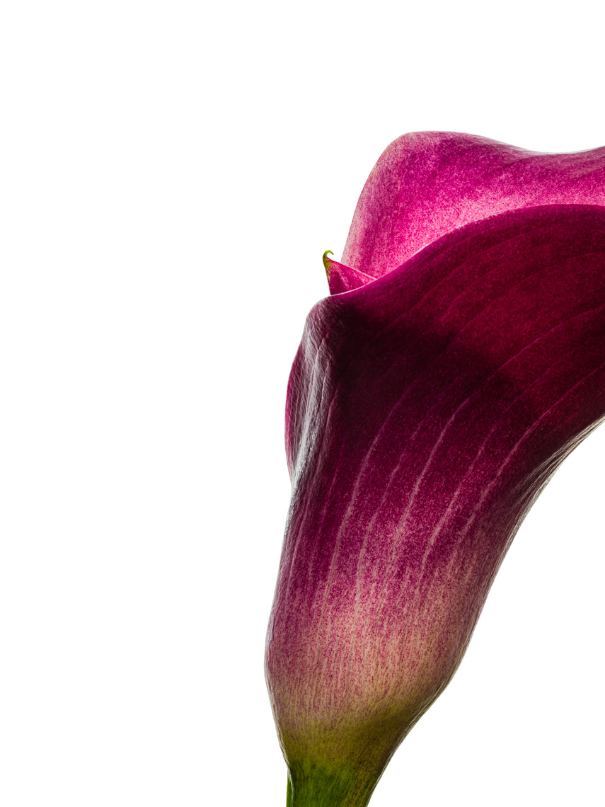 Los Angeles Photographer | Dana Hursey Photography | Botanicals | Calla Lily 3