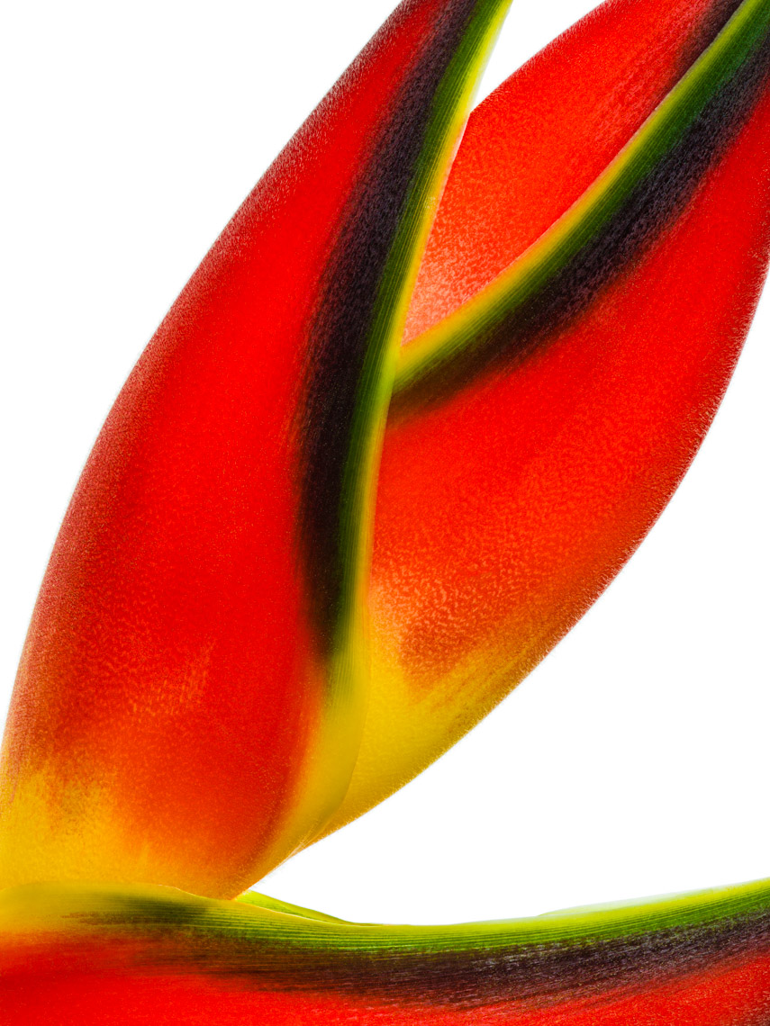 Los Angeles Photographer | Dana Hursey Photography | Botanicals | Heliconia 3