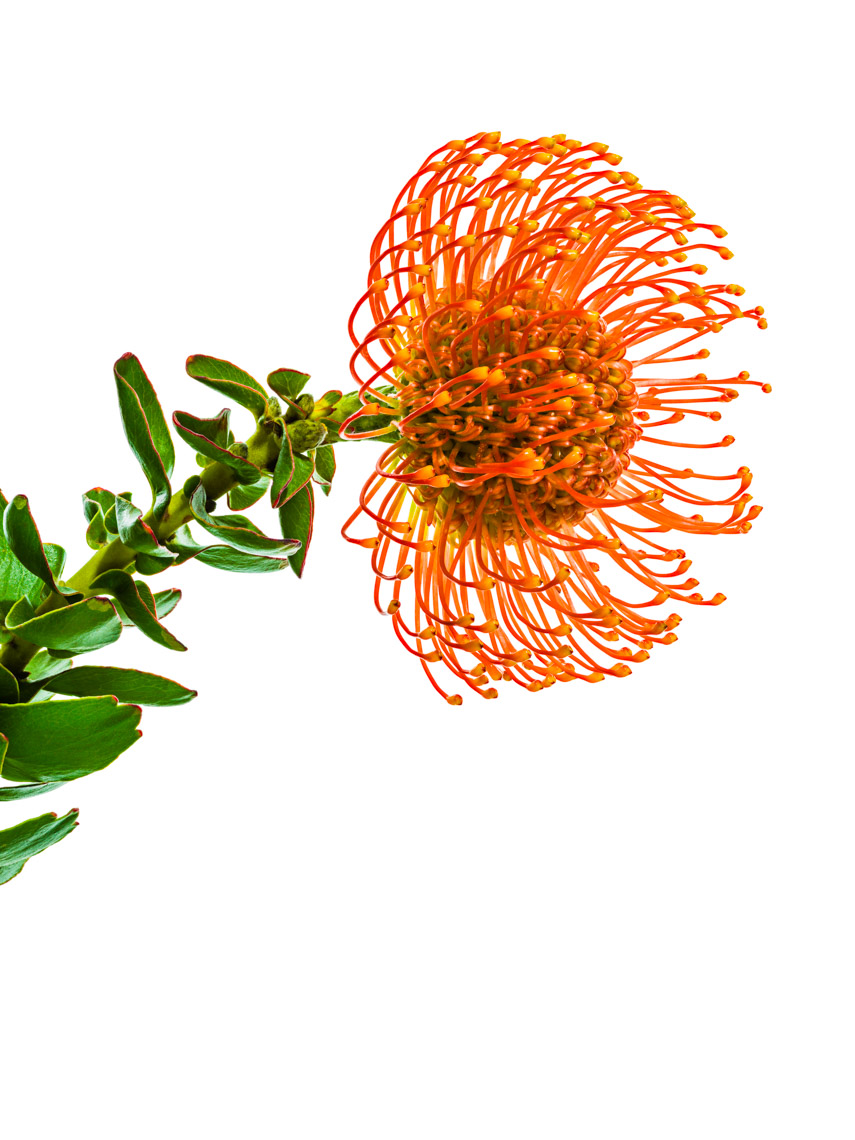 Los Angeles Photographer | Dana Hursey Photography | Botanicals | PincushionProtea 2