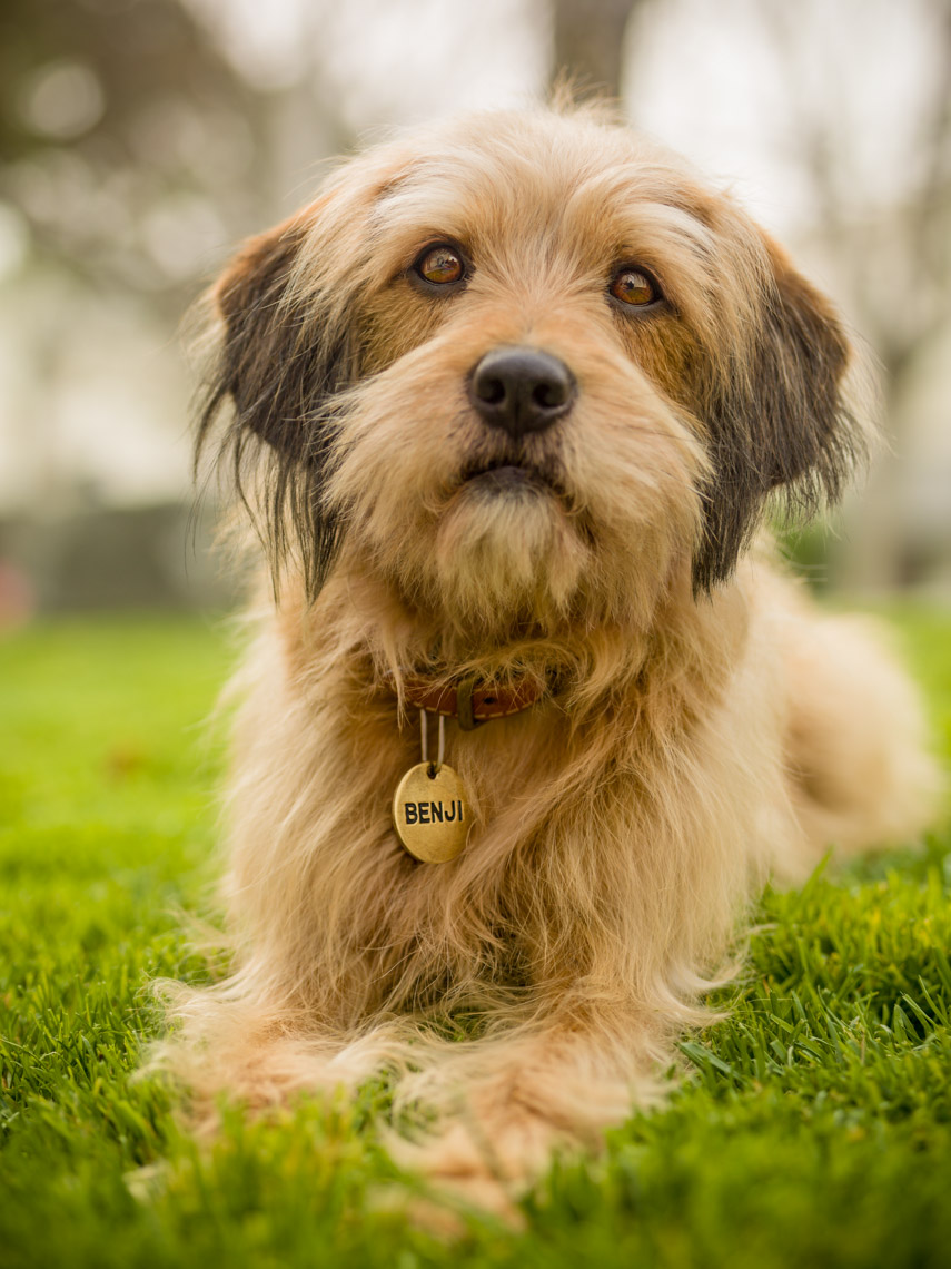 Los Angeles Photographer | Dana Hursey Photography | Animal Photography | Benji on Grass